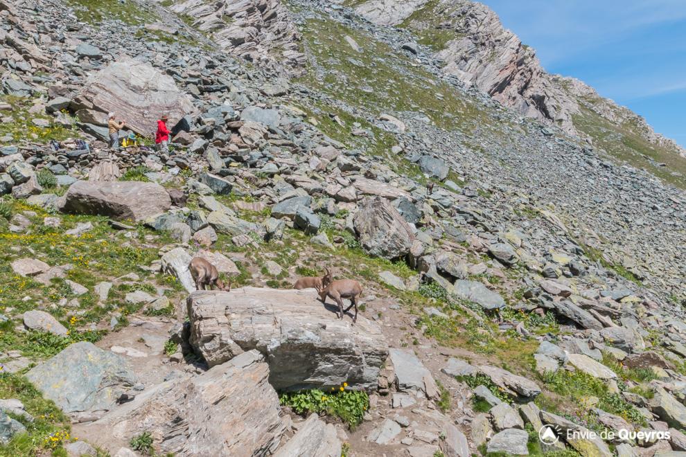 bouquetins sur rocher au nino sardi