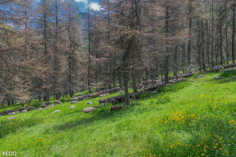 troupeau de mouton dans les bois de lavine