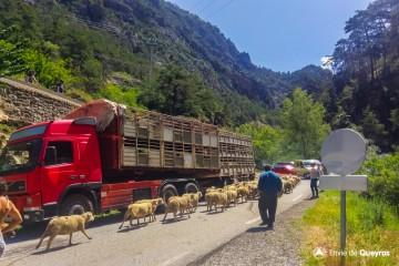 Transhumance : les moutons arrivent pour l'estive !