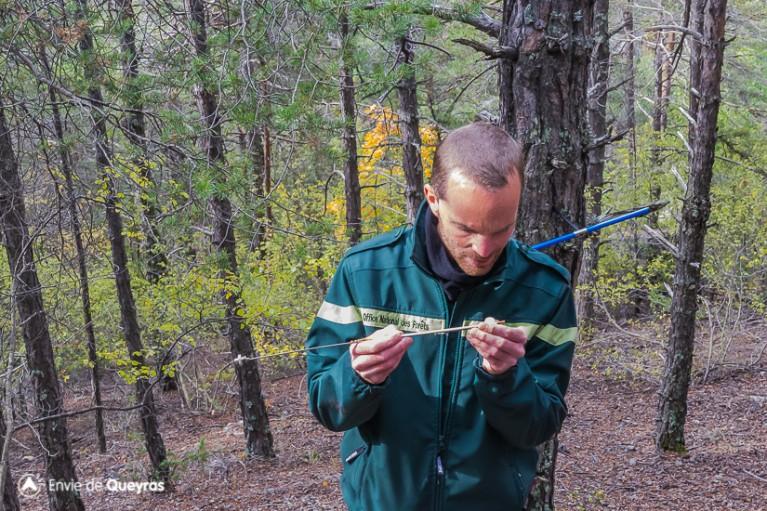 Prélèvement de l'écorce d'un pin sylvestre et comptage des cernes pour déterminer l'âge de l'arbre